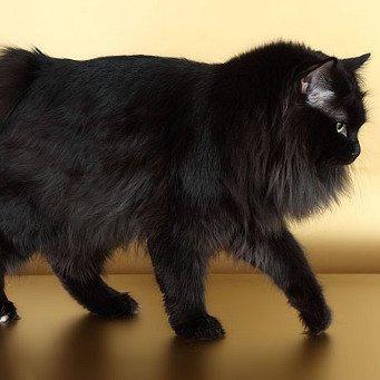 чёрный курильский бобтейл фото
