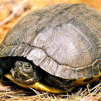 Водные черепаха впадает в спячку в домашних условиях