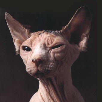 Волдырь на ухе у кота