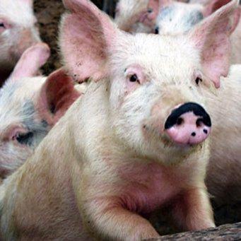 Корм для свиней своими руками