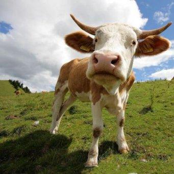 Что делать если корова бьется