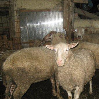 Разведение овец мясной породы: технология