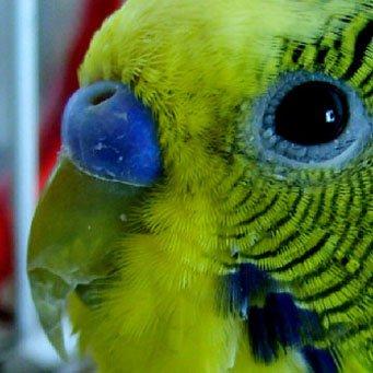 Почему у волнистого попугая слоится ...