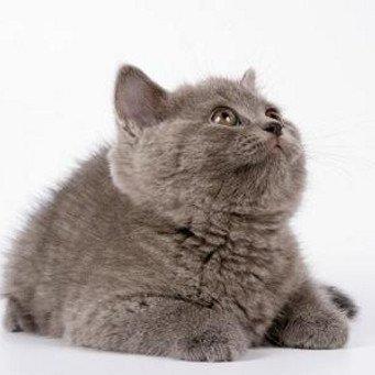 уход за короткошерстной кошкой