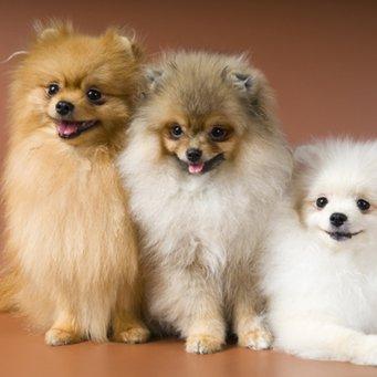 Померанский шпиц - Косметика для собак