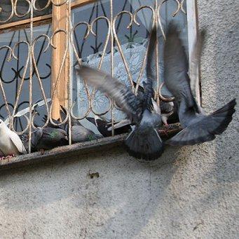 Как избавиться от голубей на балконе.