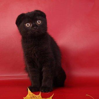вислоухие коты черные фото