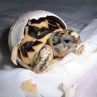 как рождаются черепахи