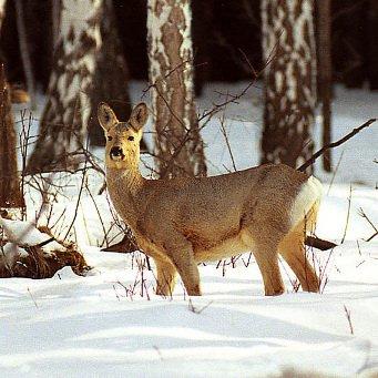 Истории охоты с гончими на лису