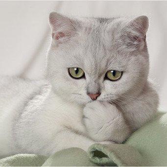 кошки фото британки