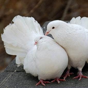 зачем голуби кивают головой