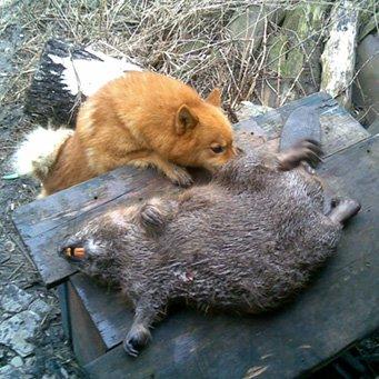 Лайка западносибирская: охота на зайца