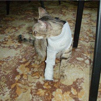 Как бинтовать лапу коту