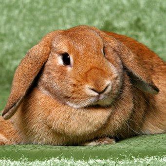Почему декоративный кролик лижется