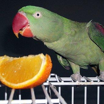 какими фруктами содержать попугая