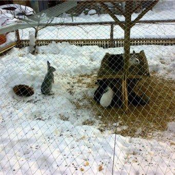 Крольчатник зимний