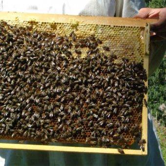 Кемеровская уход пчел