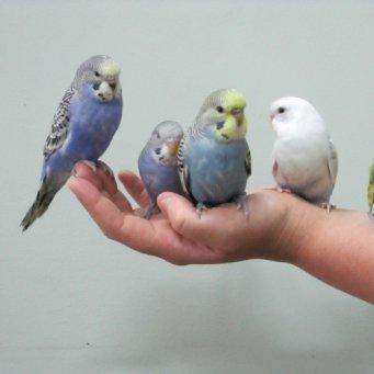 как приучить попугая садиться на руку