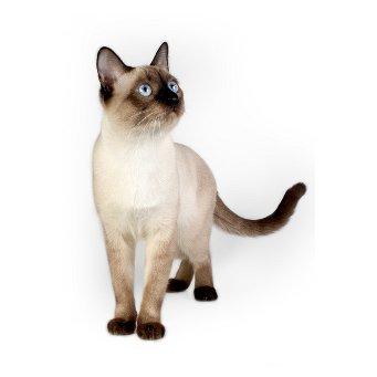 ผลการค้นหารูปภาพสำหรับ сиамские и тайские кошки
