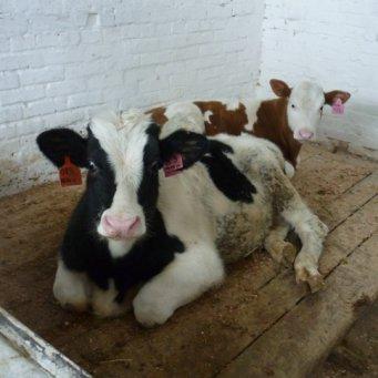 Выращивание быков производителей 71
