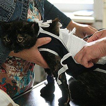 травмы котят Болезни и травмы хвоста у кошек