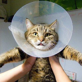 Как надевать ошейник для кота