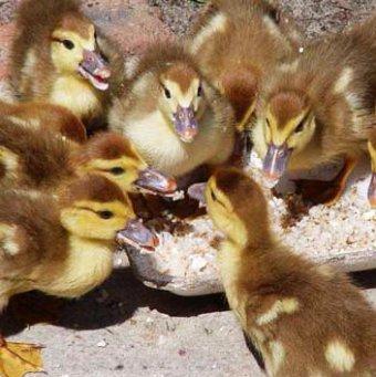 Кормление и уход за утками в домашних условиях - Он Фермер
