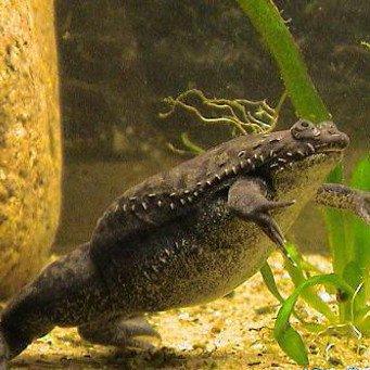 Лягушка, жаба Пипа