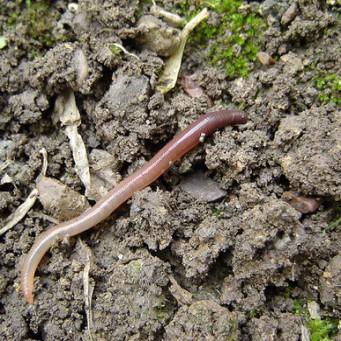 Дождевой червь своими руками фото 564