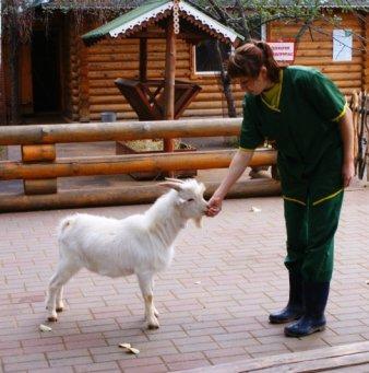камерунские козы фото