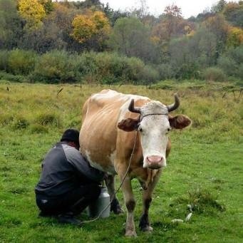 Как, когда и почему корова дает молоко?