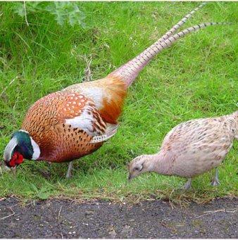Разведение и содержание фазанов как бизнес