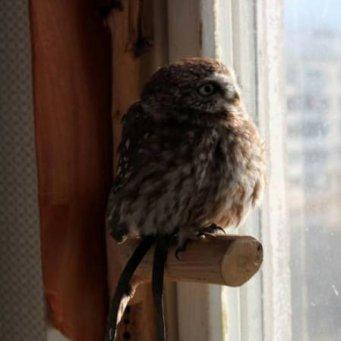 Содержание совенка в домашних условиях - OOOremont96.ru
