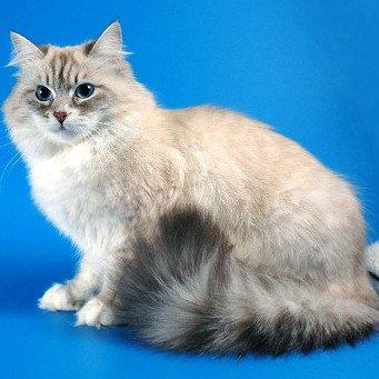 Сибирская короткошерстная кошка: уход за питомцем