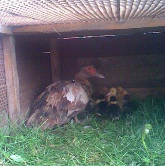 Гнездо своими руками для мускусной утки