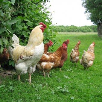 комбикорм зерно для кур в ижевске купить