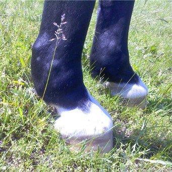 При заболевании суставов у лошадей гемобурсит коленного сустава