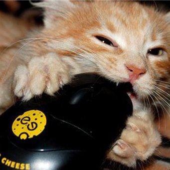 Кот грызет обувь