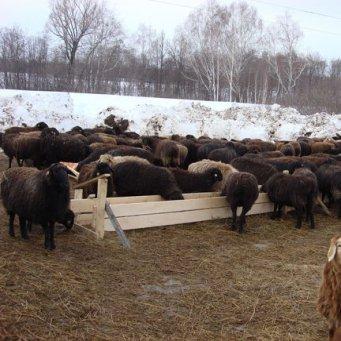 технология разведения овец