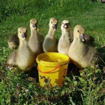 купить гусят в Красноярске