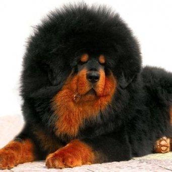 собака медведь фото порода