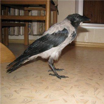 Ворона попала в дом через вентиляцию