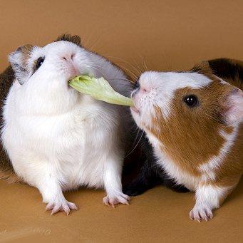 Картинки по запросу грызун ест овощи