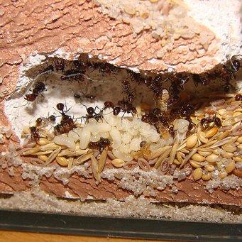 Ферма муравьиная своими руками