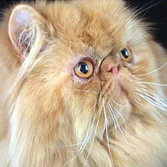 Кот с приплюснутой мордочкой