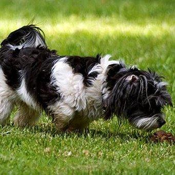 Почему собака ест фекалии?