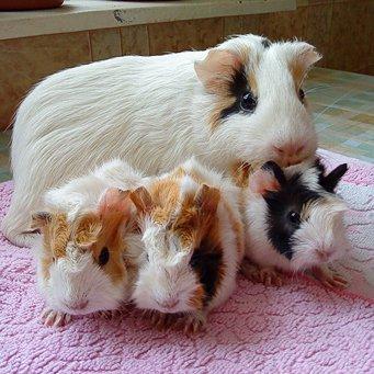 Новорожденные морские свинки