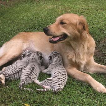 Собака усыновила котенка