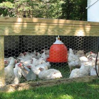 Вырастить цыплят-бройлеров в домашних условиях