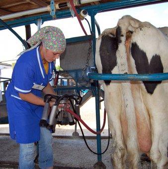 Доение или дойка коров